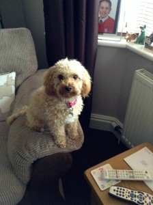 Amber the Cavapoo!