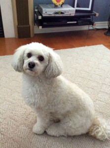 Bailey the Bichon Poodle!