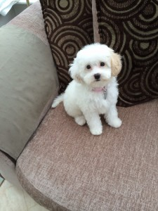 Bailey the Cavapoo!