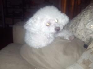 Basil the Bich-Poo!