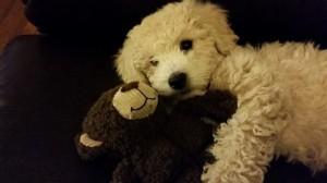 Bear the Bichon-Poo!