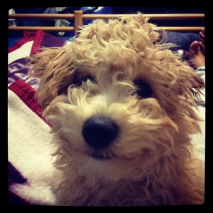Murphy the Bich-Poo!
