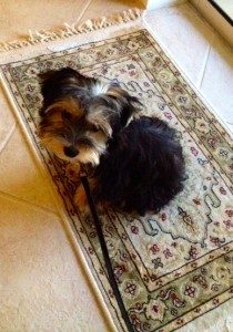 Adult yorkie poo picture join