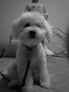Teddy the Bich-Poo!