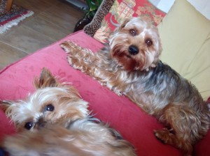 yorkie picture Adult poo