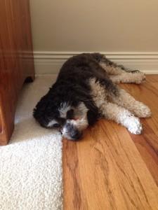 Eva the Bichon Poodle!