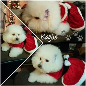 Kaylie the Bich-Poo!