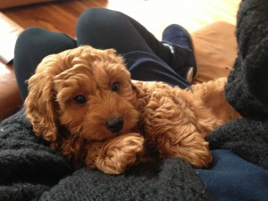 Cavapoo (also known as Cavadoodle or Cavoodle) | Dogs Discovered.com
