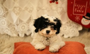 Mia the Cavapoo!