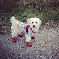 Molly the Bichon Poo!