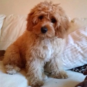 Monty the Cavapoo!