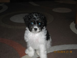 Patches the Cavapoo!