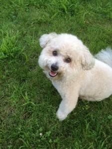 Sebastian the Bichon Poodle!