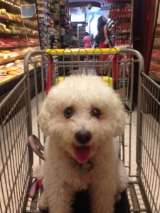 Susie the Bichon Poodle