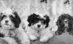 Tilly, Mia & Ellie - Cavapoos