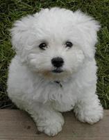 Bich-Poo (also known as Poochon, Bichpoo, Bichon Poodle)