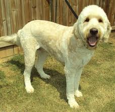 Grooming For Poodle Mixes Dogs Discovered Com
