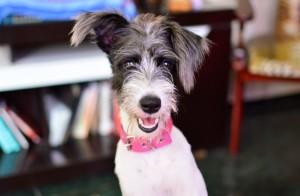 Brazilian Terrier (Fox Paulistinha)/Poodle