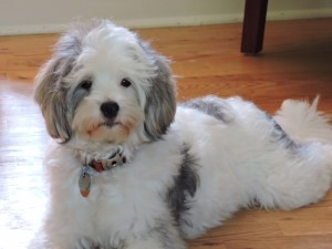 Cavapoo (also known as Cavadoodle or Cavoodle) | Dogs