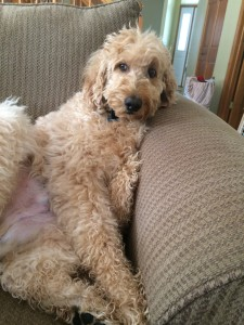 Amos the Goldendoodle