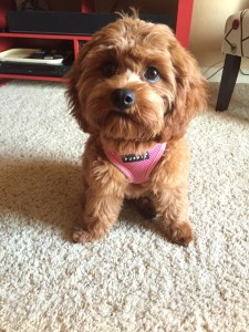 Cavapoo Also Known As Cavadoodle Or Cavoodle Dogs
