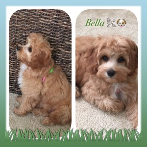 Cavapoo (also known as Cavadoodle or Cavoodle) | Dogs Discovered com