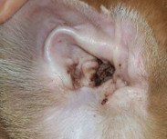 Dog Ear Infection