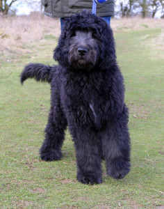 Newfiepoo Dogs Discoveredcom