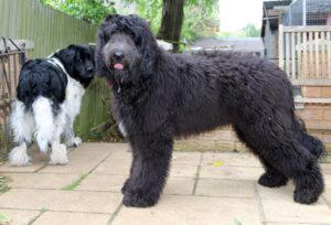 Newfiepoo | Dogs Discovered com