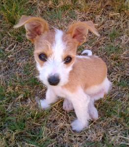 Jack-A-Poo dog