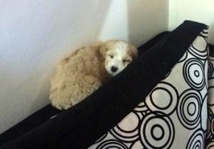 Cavapoo dog