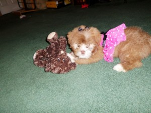Shih-Poo dog