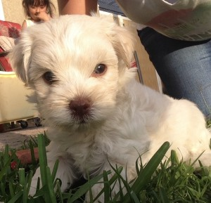 Poodle Mix Puppy